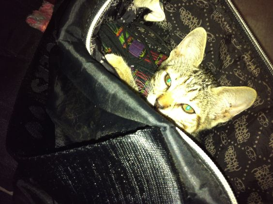 The cat's in the bag. Bebe kitty in my purse. photo by cerifairie