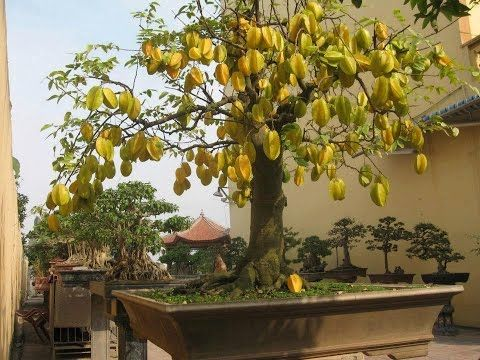 Hqdefault Jpg Ide Berkebun Pohon Bonsai Tanaman