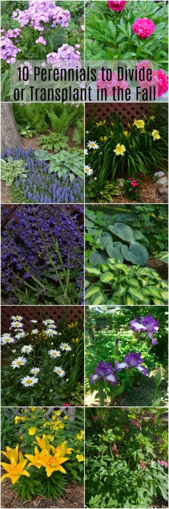 0 Perennials to Divide or Transplant in the Fall