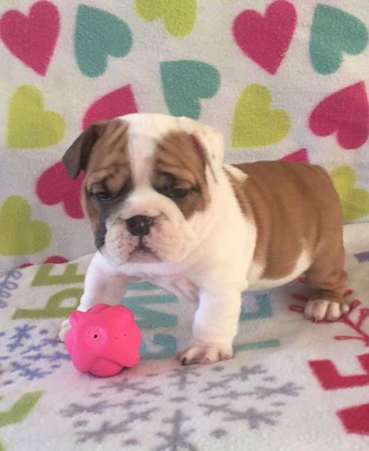 Male And Female English Bulldog Puppies 100 Dallas Tx