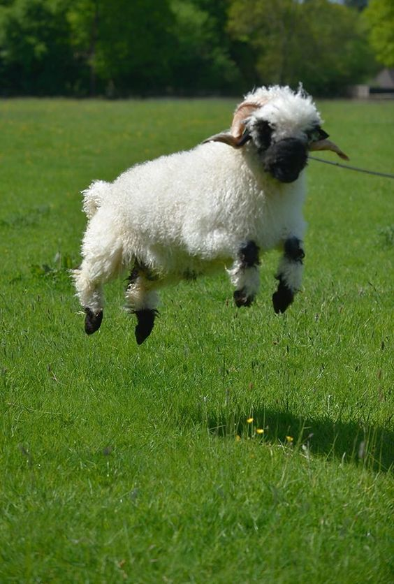I feel so much joy knowing Jesus as my Savior, I cannot contain it! ~ Valais Blacknose Sheep...