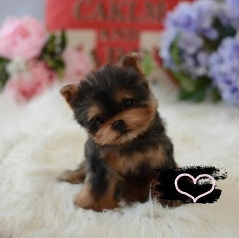Hot Sale Limited To 1000 Realistic Yorkie Dog Casey Besteffiei In 2020 Yorkie Dogs Yorkie Teddy Dog