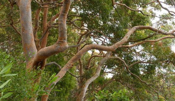 The seductive smoothness of the  terracotta trunks of the Angophora coasta
