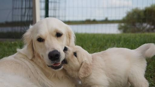 Litter Of 9 Golden Retriever Puppies For Sale In Ruskin Fl Adn