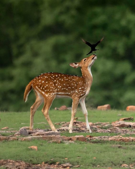 The encounter between the spotted deer & the drongo bird takes place in the early morning sunlight at Ranthambore Tiger Reserve in northern India.  Also known as the Chital the spotted deer is one of the most common species of deer found on the Indian subcontinent. The bird belongs to the Dicruridae family and feeds on insects attached to the body of larger animals. _  @aarzoo_khurana_photography/@solentnews/@ShutterstockNow _ #wildlifephotography #india #earthpix #antlers #deer Tumblr photograp