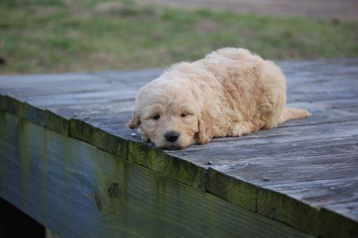 Teddy Bear Poodle Breeder Housebroken Puppies Ready To Go In
