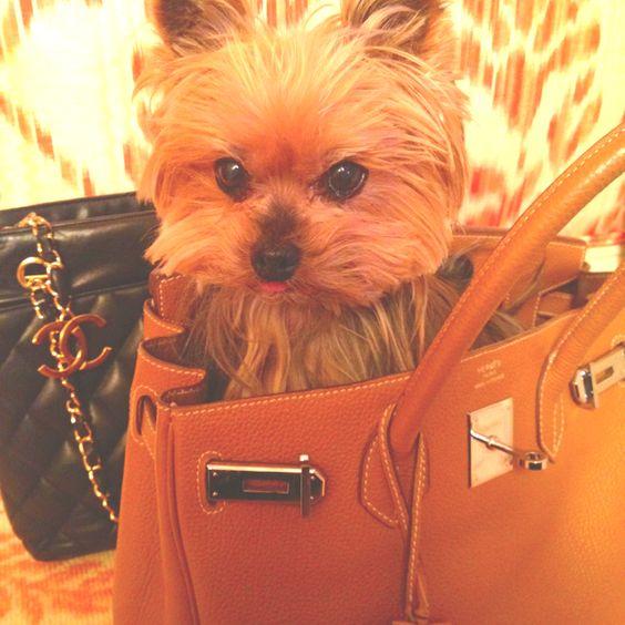 replica birkin bags - yorkshire terrier, park avenue nyc hermes birkin bag, vintage ...