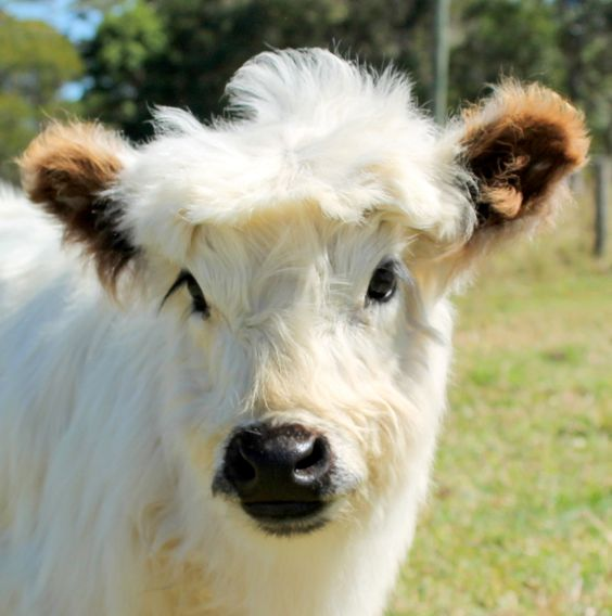 Miniature White Galloways:
