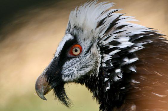 птица бородач - Поиск в Google