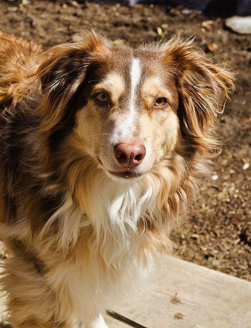 Is Your Australian Shepherd Driving You Crazy Remove All The Stress Of Owning An Australian Shepherd Dog Behaviour Breakthrough Australia Perros