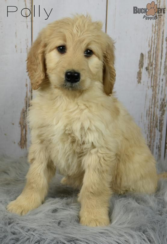 Polly F1b Goldendoodle Puppy For Sale In Fresno Oh