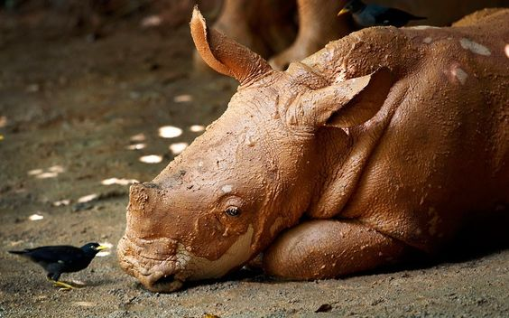 A mud-covered three-month-old male white rhino named Jumaane looks at a mynah bird at the Singapore Zoo: Male African, Animal Pictures, Covered Three, African Southern, Baby Rhino, Zoopicture Wong, Baby Animals Pictures, Singapore Zoopicture, Minor Bird