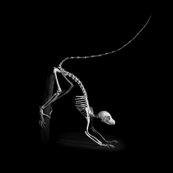 Skeletons in Action_Lemur