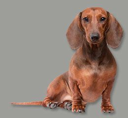 Gorgeous Red Smooth Dachshund