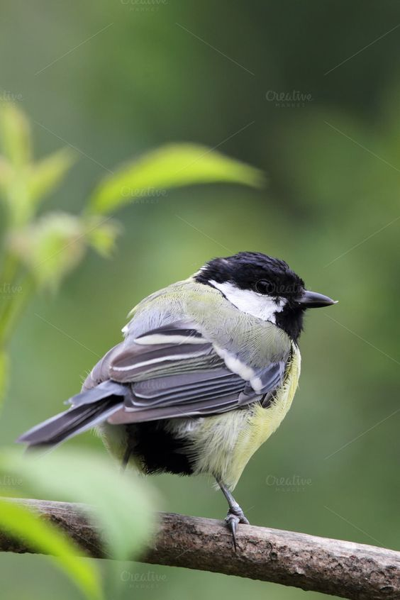 Great Tit (Parus major) by dirkr on Creative Market