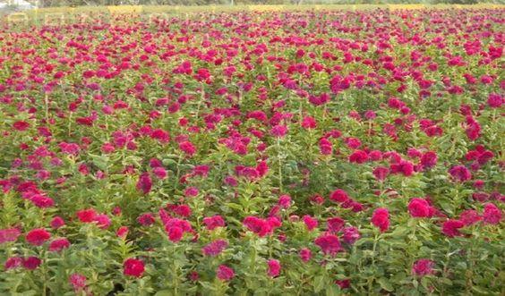 Pocos productores de Cuicatlán sembraron flor de cempasúchil esta temporada…