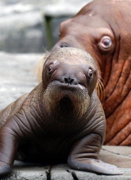 The answer is yes - baby walruses make mustaches look <em>adorable</em>.