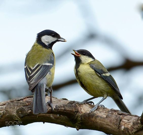 For you - (great tit)......