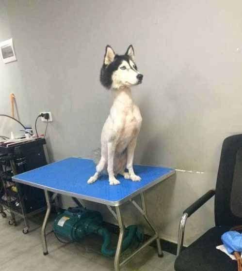 うちの犬を「サマーカット」してみた → ハスキーはこうなった