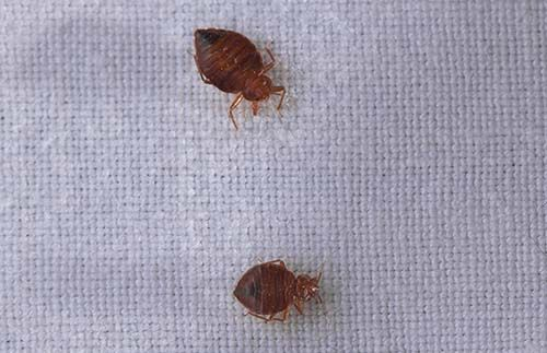 Can Bed Bugs Travel On Dogs Bed Bugs Bed Bug Travel Bed Bugs