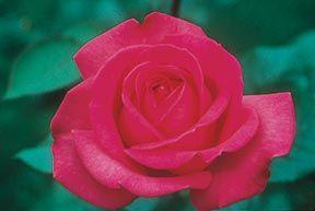 Elizabeth Taylor Hybrid Tea Rose - Monrovia - Elizabeth Taylor Hybrid Tea Rose