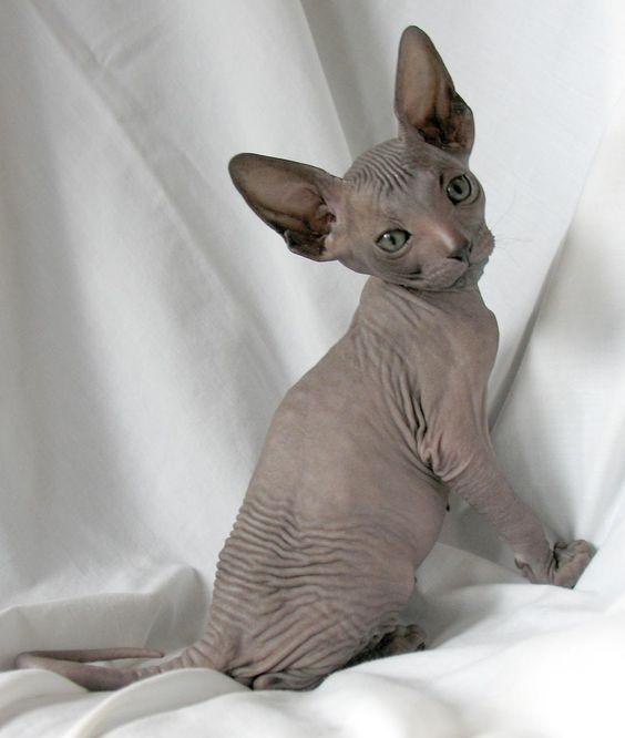 SPHYNX   Tipo: gato desnudo  Cabeza: angulosa, ligeramente triangular, más larga que ancha, nariz corta, orejas muy grandes y anchas en la base  Ojos: en forma de limón, grandes, oblicuos, color acorde con el del pelaje  Cuerpo: mediano, alargado, duro, musculoso, pecho muy ancho y abdomen rollizo  Cola: delgada, más ancha en la base, puede tener un mechón de pelos en la punta