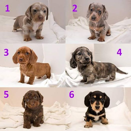Different Looks Of A Dachshund Puppy Dachshund Puppies