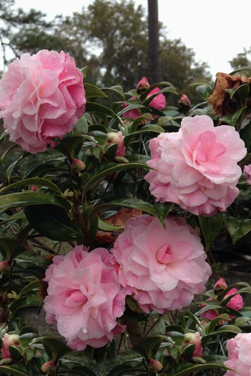 Buy Buttons N Bows Camellia Free Shipping Plants For Sale Online From Wilson Bros Gardens Pink Flowers Beautiful Pink Flowers Beautiful Flowers