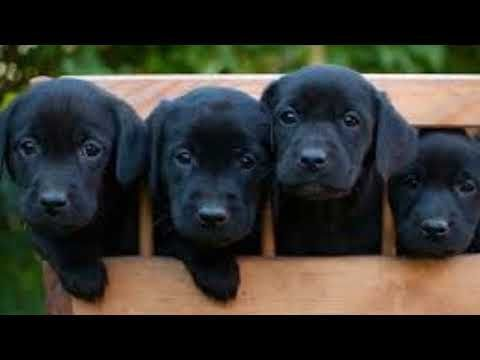 Black Labrador Retriever Puppies Labrador Retriever Labrador Retriever Puppies Black Labrador Retriever
