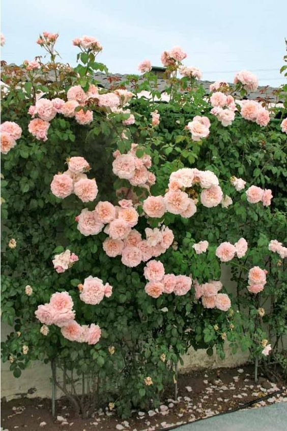 Rosier grimpant 39 rose de tolbiac 39 roses du jardin for Catalogue plantes jardin