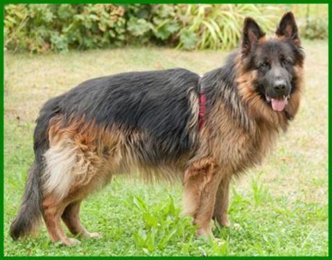 Askan Reinrassiger Langhaariger Schaferhund 2 Jahre Tierhi