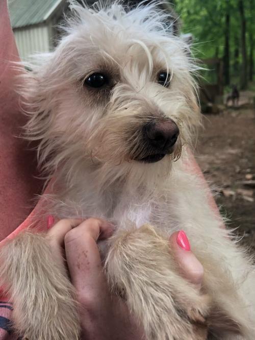 Adopt Fendi On Silky Terrier Adoption Fendi