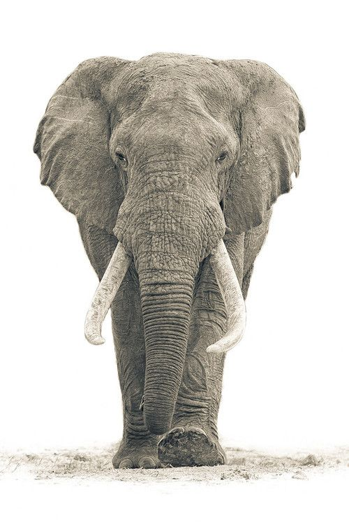Elefante - Animal -> Por: Angel Catalán Rocher! CLICK -> pinterest.com/AngelCatalan20/boards/ <- Sígueme!