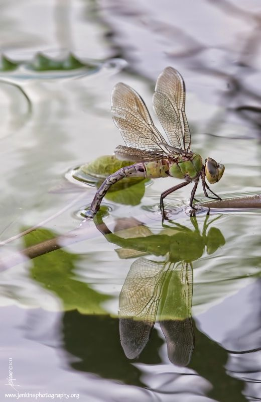 pollinator - dragon fly - depositing eggs into the water. Fabulous photo. Repinned by www.watersidenursery.co.uk (uk pond plant specialists)