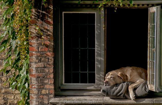 Fidel, the famous dog by the canal window in Bruges Belgium, takes a rest as part of his hard day at work. Photo by Photo Tour Brugge.