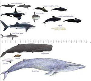 The SeaLifeBase Project: Are you a dolphin? No I'm a whale...