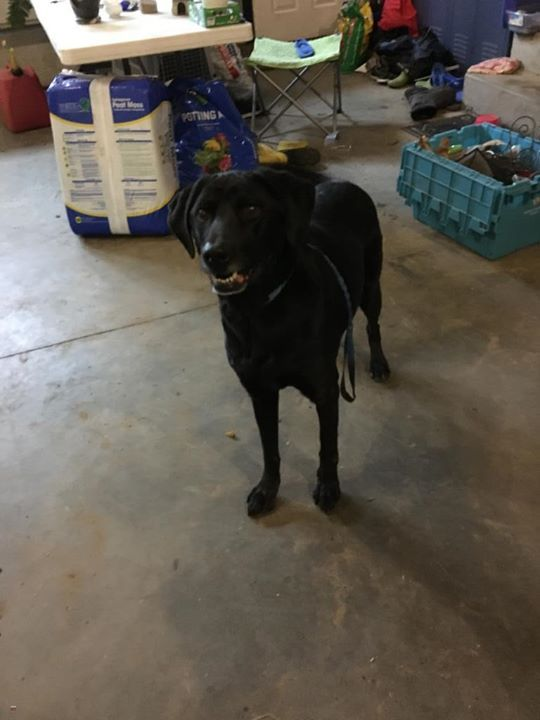 Is This Your Dog Hugo Flat Coated Retriever Female Date Found 10 04 2018 Breed Of Dog Flat Coated Retriever Gender Female Closest Losing A Dog