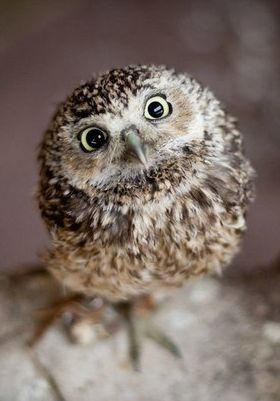 Cute Owl: