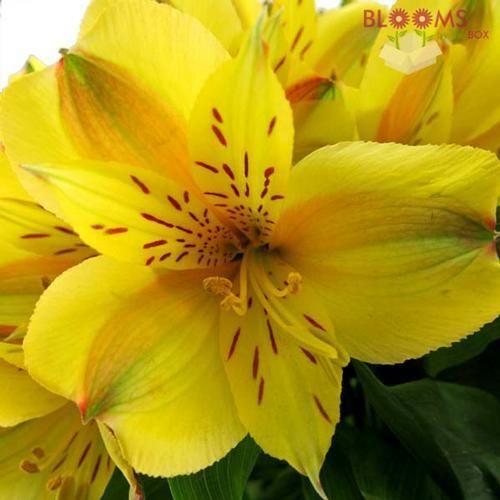 Alstroemeria Yellow Alstroemeria Planting Flowers Flowers