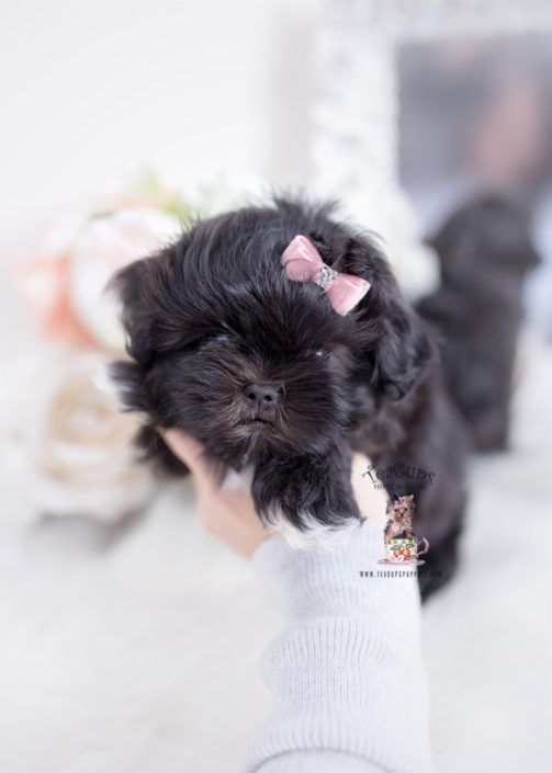 Malshi Maltese Shih Tzu Puppy For Sale Teacup Puppies 379 Cuteteacuppuppies Malshi Maltese Shih Tzu Puppy For Sale Teacup Puppies 379 Cuteteacuppuppies Teacup Puppies Teacup Puppies For Sale Puppies For Sale