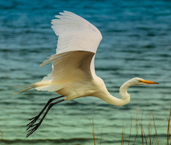 Great Egret by wowography.com, via Flickr