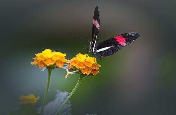 Butterfly, My Butterfly... by Wim Bolsens, via 500px
