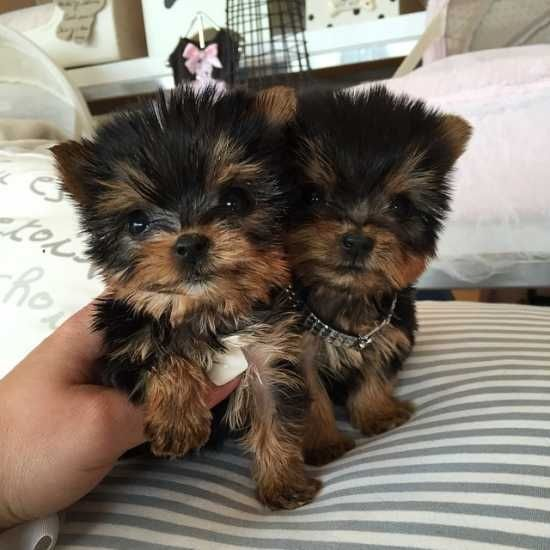 Gorgeous Micro Teacup Akc Yorkie Puppies For A Good Home Male And