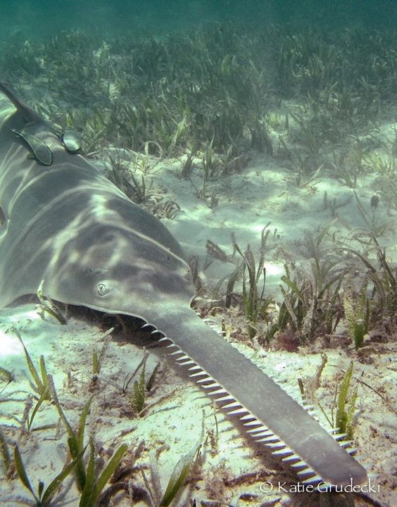 Saw #Sharks use their long, toothy, sword-like snouts to find and slash their prey! #toocool #biodiversity