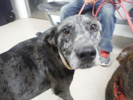 Fort Worth Tx Shepherd Unknown Type Meet Kedo A Dog For
