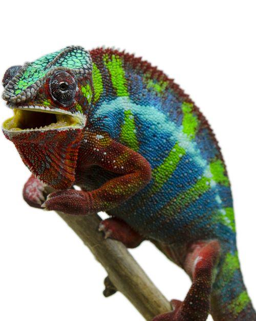Help My Chameleon Is Peeling Experiencing Skin Shed Canvas Chameleons Chameleon Care Chameleon Skin