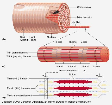 muscle muscle contraction and fiber on pinterest : myofibril diagram - findchart.co