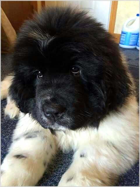 The Importance Of Keeping Your Dog Mentally Stimulated Big Fluffy Dogs Newfoundland Puppies Dogs