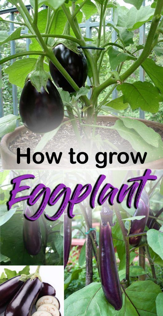 Growing Eggplant Howtogrowvegetables Growing Eggplant How To Grow Eggplant In A Pot Aubergine Growing Eggplant Growing Vegetables Organic Vegetable Garden