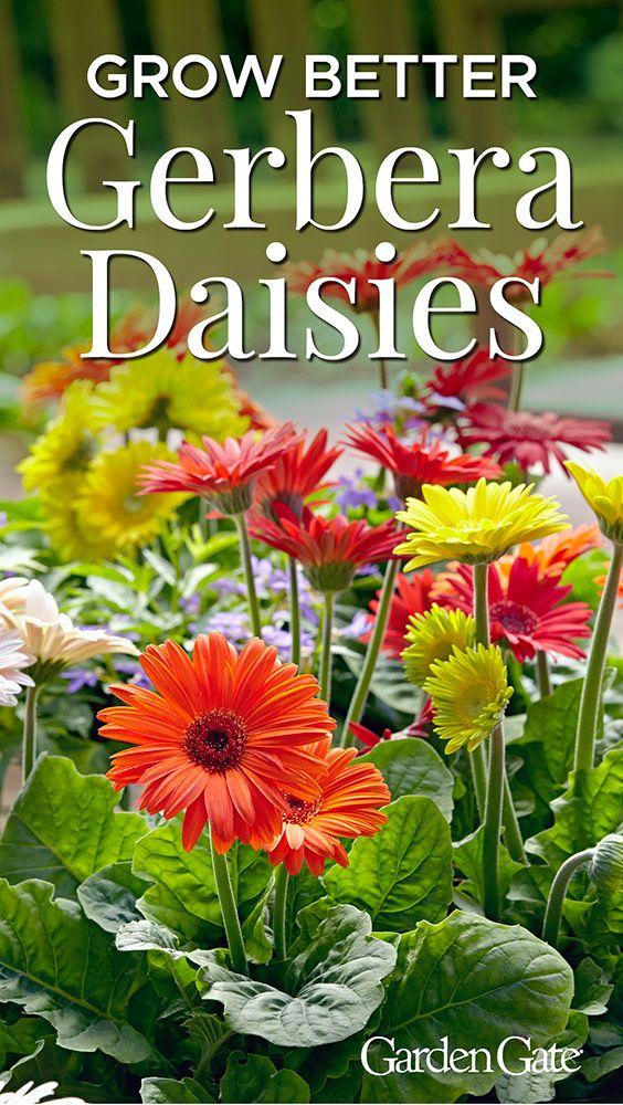 How To Grow Better Gerbera Daisies Gerbera Plant Gerbera Daisy Gerbera Flower